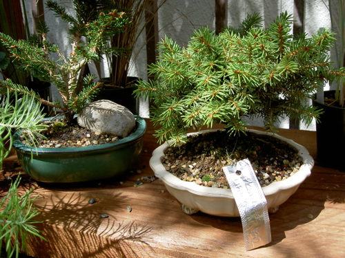 two little bonsai trees, with price tags